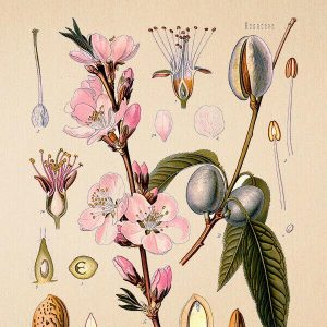 High Quality Botanical Print Wall Poster Almond
