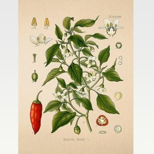 High Quality Botanical Print Wall Poster Chili