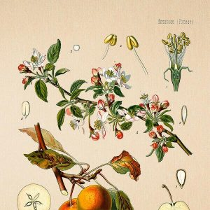 High Quality Botanical Print Wall Poster Apple